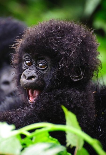 baby gorilla 2